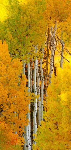 Autumn aspens in Crested Butte, Colorado • photo: Wayne Boland on Flickr