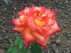 rosengarten zweibr cken the roses in my garden pinterest rosengarten garten und rosen. Black Bedroom Furniture Sets. Home Design Ideas