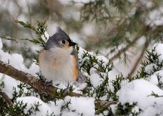 Bird Photography Print  Winter Bird Photo  by ChicksPhotoGraphics