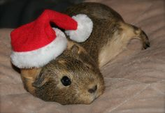 Santa Guinea Pig