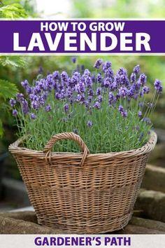 Lavender Seeds, Growing Lavender, Lavender Garden, Growing Herbs, Lavender Flowers, Dried Flowers, Lavender Plants, Planting Lavender, Provence Lavender