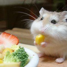I has a corm funny animals lol cute animals hamster i has Cute Baby Animals, Animals And Pets, Funny Animals, Hamster Roborovski, Animal Pictures, Cute Pictures, Baby Pictures, Funny Hamsters, Dwarf Hamsters