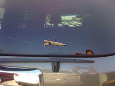 Giant praying mantis.