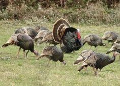 Wild turkeys....Well HELLOOOOO HANDSOME!!!!!!!!