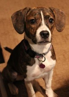 Check out our list of 18 Beagle mixed breeds. This hunting hound can be found in all sorts of canine combinations - see our favorites here! Boxer Beagle Mix, Beagle Mix Puppies, Mixed Breed Puppies, Beagle Hound, Pitbull Boxer, Art Beagle, Chihuahua Mix, Corgi Beagle, German Shepherd Beagle Mix