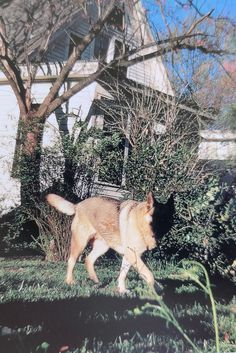 """A picturesque photo of a German shepherd playing in a yard taken by William Eggleston and part of his book """"Horses and Dogs"""" by the Smithsonian Institution Press. Reportage Photography, William Eggleston, Horses And Dogs, Horse Pictures, Museum Of Modern Art, Color Photography, See Picture, Taking Pictures, Art Forms"""