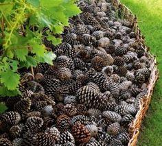 Avec des pommes de pin, faites un paillis pour vos parterres.. 100 % récup et 100 % naturel, ce paillis en pommes de pin gardera l'humidité de vos plantes et évitera la pouce des mauvaises herbes.