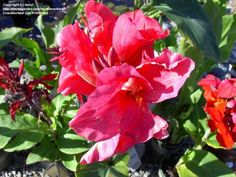 Full size picture of Canna Lily 'Miss Oklahoma' (<i>Canna x generalis</i>)