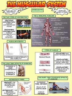 TTC PE on Revision sheet gcse muscular system Science Revision, Gcse Science, Gcse Revision, Teaching Science, Science Notes, Exercise Physiology, Anatomy And Physiology, Health Class, Health Education