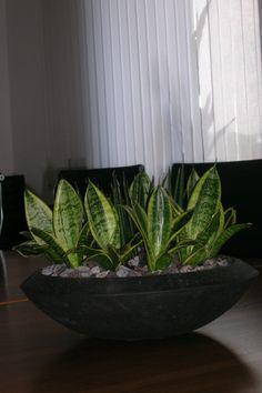 zimmerpalmen bilder welche sind die typischen palmen arten dekoration decoration ideas. Black Bedroom Furniture Sets. Home Design Ideas