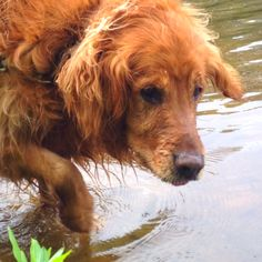 This looks so much like Alex! He was a dark red color & people always asked if he was an Irish Setter. Rest in Peace, Alex. You were such a good boy!!!