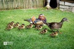 Duckies en zwaantjes