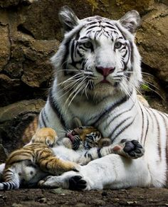 Tiger cub hangs out with white tigress mom