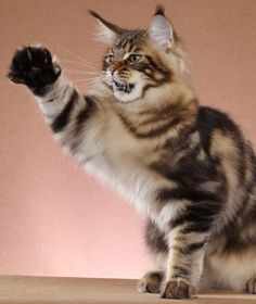 Maine Coon Kitten http://www.mainecoonguide.com/what-is-the-average-maine-coon-lifespan/