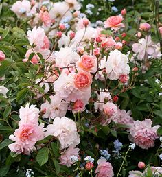 """Cornelia  ---- One of the best hybrid musks. Grows to 5-6ft., with gracefully arching long canes. Or train as a climber, 8-12ft. Large clusters of 3"""" blooms (40-55 petals), with coral buds opening to pink with occasional hints of yellow or salmon. Main bloom in spring & fall, light in summer. Tolerates shade & lean soils. Vigorous, good for a fence, hedge or edge of the woods. Pemberton, 1925."""