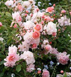 Cornelia Hybrid Musk Rose ~ Hybrid musk Roses are some of the easiest Roses to grow on the Coast of California. Beautiful Roses, Beautiful Gardens, Pretty Roses, Love Rose, Love Flowers, Musk Rose, Heirloom Roses, Rose Varieties, Garden Art