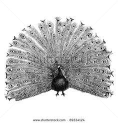 "Peacock - - vintage engraved illustration - ""Cent récits d'histoire naturelle"" by C.Delon published in 1889 France"