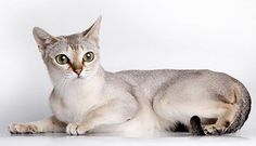The History of Singapura Cats Singapura cat is the smallest cat breed. Their name comes from the traditional Malay name for Singapore.