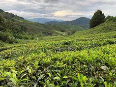 Cameron Highlands: un respiro de aire fresco en Malasia 🌱🌱 Meloviajo