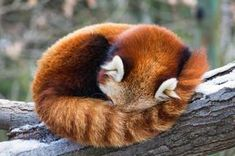 Red panda facts - all about Red Pandas