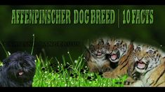 Get informative about Affenpinscher Dog Breed before you decide to get one. You may also looking for these types of Dog Breeds: Affenpinscher Dogs Affenpug D. Types Of Dogs Breeds, Dog Breeds, Dog Toys, Small Dogs, Terrier, Facts, Animals, Little Dogs, Animaux
