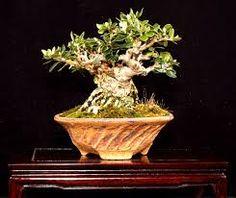 olea bonsai - Google'da Ara