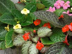 episcia Nerve Plant, Plantar, Indoor Plants, Tatoos, Arroz Frito, Flower Gardening, Vegetables, Temple, Flowers