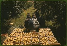 *Hauling crates of peaches from the orchard to the shipping shed. Delta County, Colorado, September 1940. Reproduction from color slide. Photo by Russell Lee. Prints and Photographs Division, Library of Congress
