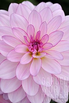 Dahlia - Oriental Dream. Beautiful in the pink and white garden.