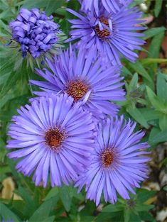 Aster (Michaelmas Daisy) – Popular filler with daisy like flowers on upright stems