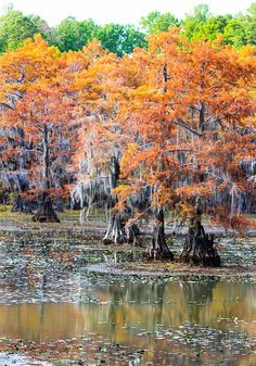 Bordering Texas and Louisiana.definitely need to remember this for an Autumn trip! Texas Parks, State Parks, Caddo Lake State Park, Park Art, Florida, Tree Forest, The Great Outdoors, Places To See, Amazing