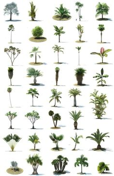 More trees information palm trees landscaping, tree sketches Palm Trees Garden, Palm Trees Landscaping, Backyard Landscaping, Backyard Trees, Landscape Architecture, Landscape Design, Garden Design, Architecture Plan, Tree Render