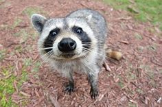 """Georgia Stop HB 423! CONTACT GA's Senators & Governor right now to help defeat this bill that, if passed, would allow LIVE raccoons to be trapped and used in terrifying field competitions. First raccoons endure injures, pain and panic in leghold traps, only to be used in field trial competitions, where they are held in cages while hunters train their dogs to """"tree-them"""". Terrified caged raccoons are flung high into trees or hauled across a field or body of water as, barking dogs give chase."""