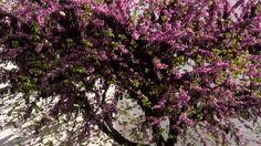 Cercis siliquastrum o árbol del Amor florecido en primavera