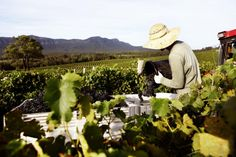 Aussie winemakers struggling to make a profit
