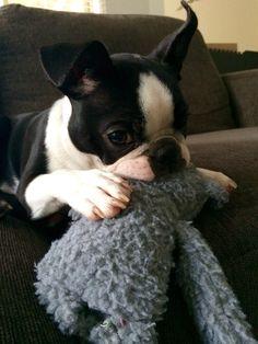Billie  Boston terrier | Pawshake