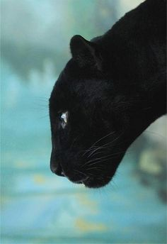 black panther, here kitty kitty kitty! I Love Cats, Big Cats, Crazy Cats, Cats And Kittens, Siamese Cats, Beautiful Cats, Animals Beautiful, Simply Beautiful, Animals And Pets