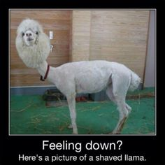 If you're feeling down, here's a picture of a shaved llama. try not to laugh haha Shaved Llama, Shaved Cat, Super Funny, Funny Cute, Funny Captions, Funny Memes, Memes Humor, Hilarious Jokes, Freaking Hilarious