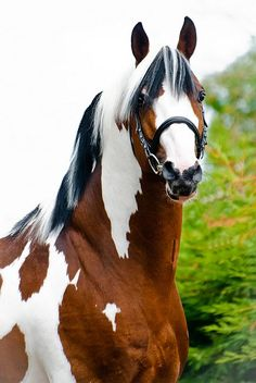 Horse / Gorgeous stallion Solaris Buenno - Dutch Warmblood by Umenno