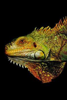 Le meilleur  Pic Reptiles desenho  Populaire,  #desenho #meilleur #Pic #Populaire #Reptiles #Reptilesdesenho, Leguan fc-foto.de/30816244 Durante novembre, notre fille a envoyé us courriel à mon mari et moi une présentation originale de diaporama intituléelizabeth «Bearded Dragon Care» ;.Elle est obsédéelizabeth par les reptiles depuis qu'elle est toute petite. Quand elle avait 3 ans, elle pensa... Alien Creatures, Sea Creatures, Beautiful Creatures, Animals Beautiful, Iguana Reptile, Reptiles Et Amphibiens, Green Iguana, Dragons, Creature Concept