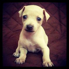 Italian Greyhound puppy! #dog #salatino #clubesalatino #canil #perro #dogs #cute #love #nature  #animales #dog #cute#pli #galgos #galgoitaliano #pequenolebrel #italian #picololevriero #picololevrieroitaliano #pequenolebrelitaliano #filhote