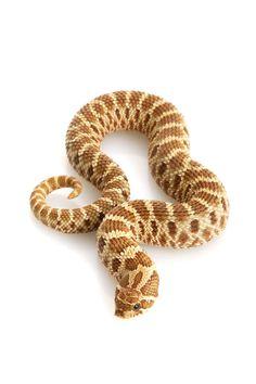 western hognose snake care sheet !