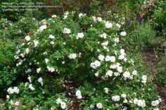 """Blanc Double de Coubert"" Rugosa rose; Highly salt tolerant, sun, well drained, deciduous; 3-5'x4-6'"