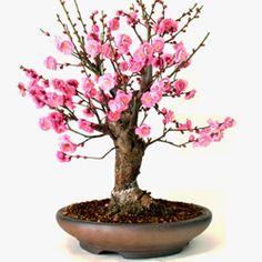 「盆栽 梅」の検索結果 - Yahoo!検索(画像)