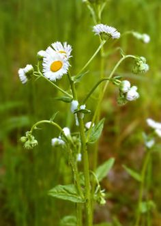 """Wildflowers of Western Pennsylvania: Erigeron philadelphicus A soft-hairy 1-4' plant with a leafy stem. The toothed basal leaves are spoon-shaped and on short stalks. The stem leaves are clasping. Each of the numerous 1/2-1"""" flowers has up to 150 white-to-pinkish rays. The relatively large disc is yellow. Blooms May-August in fields, roads, thickets.   Easily identified by the remarkable number of very slender ray flowers, even more than Daisy fleabane (E. strigosus)."""