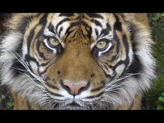 Beautiful Sumatran Tiger