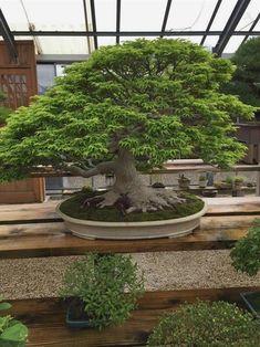 Bonsai <3 #bonsaitrees #Japanesegardens  #JapaneseGarden