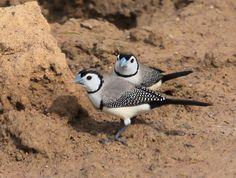 Double-barred, Bicheno's or Owl Finch - N. Birds 2, Pet Birds, Wild Birds, Exotic Birds, Colorful Birds, Wild Creatures, Australian Animals, Plant Nursery, Bird Pictures