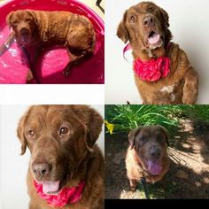 Urgent save Mackenzie $50 Shingle Springs, CA (95682) ***URGENT plea for Mackenzie. ID A685302 I am a unaltered female retreiver/chow chow mix, 7 years old. I am located at the Bradshaw animal shelter in Sacramento. I have been told I need to be rescued, adopted, or fostered very soon before my time is up, I really hope my forever family is out there. I have been told I am the whole package; sweet, silly, cute, smart, and much more. I absolutely love human attention and will prance around if…