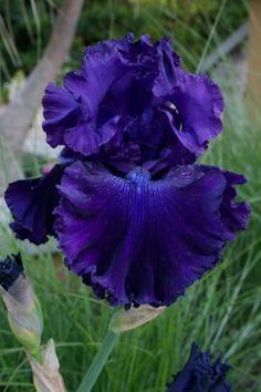 Blue Crusader Iris by shanna